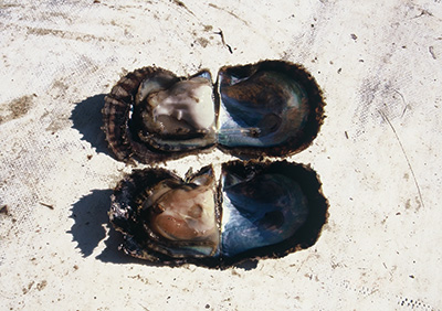 写真2:上段・健康なアコヤガイ、下段・感染症アコヤガイ