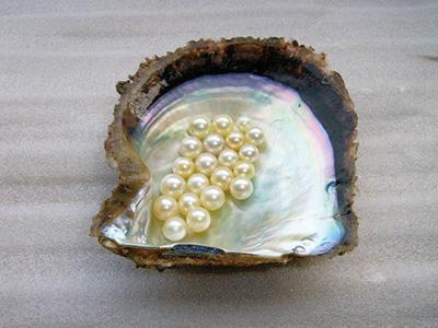 写真8:相島で養殖されたアコヤ真珠